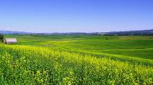 Field Of Mustard Plants