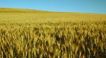 Field Of Golden Wheat