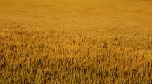 Field Of Golden Wheat Waving In The Wind
