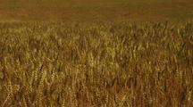 Field Of Golden Wheat Waving In The Wind