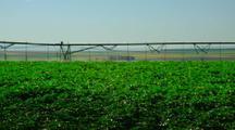 Potato Field With Irrigation