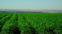 Potato Field With Irrigation