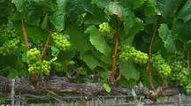Grapes and Vines in Vineyard
