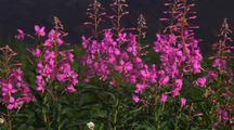 Pink Wildflowers