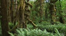 Walking Through Temperate Rainforest