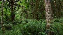 Walking Through Temperate Rainforest