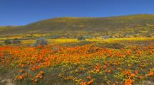 Walking Through California Poppy Reserve
