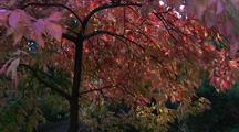 Walking In Park With Fall Colors, Below Red Tree