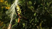 Black And Yellow Garden Spider In Web