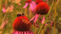 Bumblebee & Butterfly Feeding On Purple Coneflower Slow Zoom In
