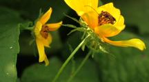 Soldier Beetle Pennsylvania Leather-Wing Feeding On Ozark Tickseed Sunflower