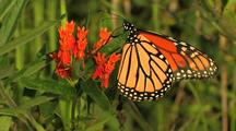 Monarch Butterfly Feeding On Butterfly Weed