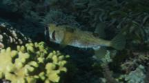 Black-Blotched Porcupinefish Swimming Over Green Sea Grass Then Hides Near Coral.