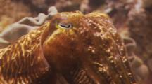 Close Up Shot Of A Cuttlefish Showing The Eye, Tentacles And Face To Zoom Out To Shot Of Cuttlefish And Reef.