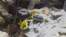 Bright Blue And Yellow Chromodoris Nudibranchs