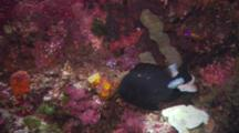 Black Fish With Parasitic Isopod In Front Of Extremely Colorful Pink, Red, Orange Coral.