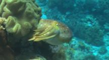 A Cuttlefish Swimming Over The Reef, Close Up, Very Colorful, Corals And Sponges In The Background.