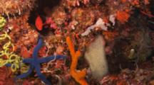 Lockoff Shot Of The Coral Reef Of A Bright Red Rockfish , Wire Coral, Blue Sea Star, Colorful Sponges And Corals. Blue Sea Star (Linckia Sp), Rockfish (Cephalopholis Sp)