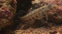 Latticed Sandperch (Parapercis Clathrata) Leaving It Hole - MALE