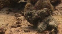 Devil Scorpionfish (Scorpaenopsis Diabolus) Sitting At The Bottom