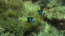 Orangefinned Clownfish (Amphiprion Chrysopterus) On A Sea Anemone