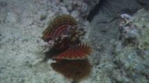 Shortfin Lionfish, Also Know As Fuzzy Dwarf Lionfish (Dendrochirus Brachypterus) Swimming Away