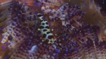 Coleman Shrimp (Periclimenes Colemani) On Host A Sea Urchin. Camera Zooms Out To Entire Urchin