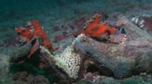 Twin Orange Leaf Scorpionfish (Taenianotus Triacanthus) On A Coral Head.