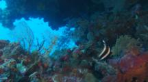 Pennant Bannerfish (Heniochus Chrysostomus) Under A Ledge In A Coral Reef