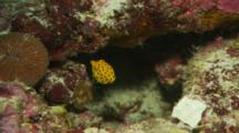 Close Up Of A Juvenile Yellow Boxfish (Ostracion Cubicus) Swimming In Between Rocks. At End A Royal Dottyback (Pseudochromis Paccagnellae)