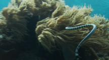 Sea Snake (Laticauda Colubrina) Swimming Around The Reef And Towards The Surface
