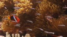 Red And Black Clownfish (Amphiprion Melanopus) In Anemone And Other Tiny Black And White Fish Swimming Aorund
