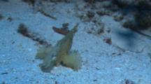 Pale Yellow/White Leaf Scorpionfish (Taenianotus Triacanthus) Resting On The Ocean Bottom.