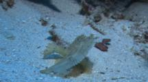 Pale Yellow/White Leaf Scorpionfish (Taenianotus Triacanthus)Resting On The Ocean Bottom.