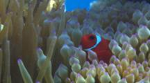 Closeup Of A Spinecheek Anemonefish (Premnas Biaculeatus)  In A Purple-Tipped Bulb Tentacle Sea Anemone