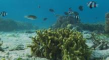 Humbug Dascyllus (Dascyllus Aruanus) Swims Around A Head Of Hard Coral