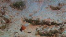 Fire Goby (Nemateleotris Magnifica)