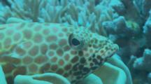 Spotted Grouper Or Rock Cod Rests In Coral