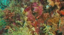 Yellow-Edged Moray Eel (Gymnothorax Flavimarginatus) Camouflaged By Coral Reef