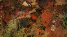 Yellow-Edged Moray Eel (Gymnothorax Flavimarginatus) Hiding In Coral Reef