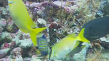 Royal Angelfish (Pygoplites Diacanthus) And Masked Rabbitfish (Siganus Puellus) Feeding On Coral Reef