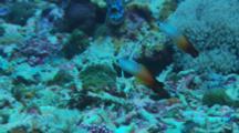 Fire Dartfish(Nemateleotris Magnifica)