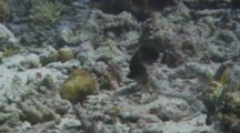 Dragon Wrasse Hunting In The Rubble On The Bottom.