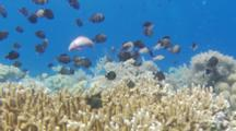 A School Of Reticulated Dascyllus Huvering Over A Coral Head.