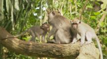 Monkeys In Tree In The Sacred Monkey Forest Of Padangtegal In Ubud, Bali, Indonesia.