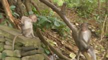 Monkeys With Baby Grooming Each Other In The Sacred Monkey Forest Of Padangtegal In Ubud, Bali, Indonesia.