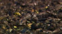 Extreme Close Up Of Japanese Horn Snail (Batillaria Attramenta)