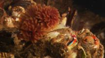 Colorful Invertebrate Xxx Feather Duster Worm (Eudistylia Polymorpha)