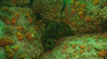 A Crowded Crevice Of Panamic Green Moray Eels Off Malpelo Island