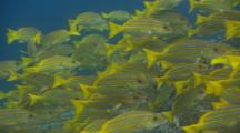 Close Up On A School Of Blue-And-Gold Snapper (Lutjanus Viridis) Idling In The Currents Off Malpelo Island, Costa Rica.